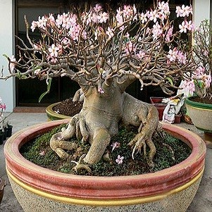 Adenium Thai Socotranum PETCH BAN NA (семена)