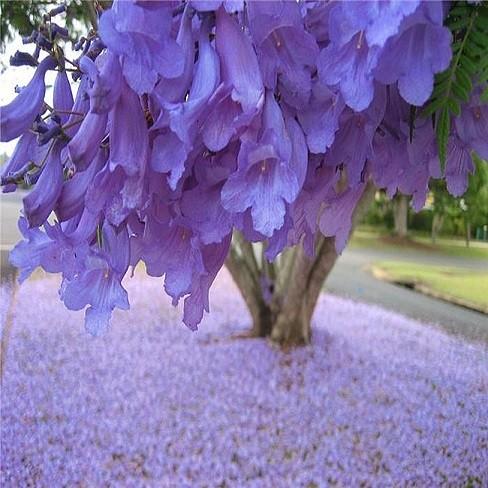 Jacaranda Mimosifolia или Жакаранда Мимозолистная (семена)