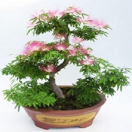 Mimosa Pudica или Мимоза Стыдливая (семена)