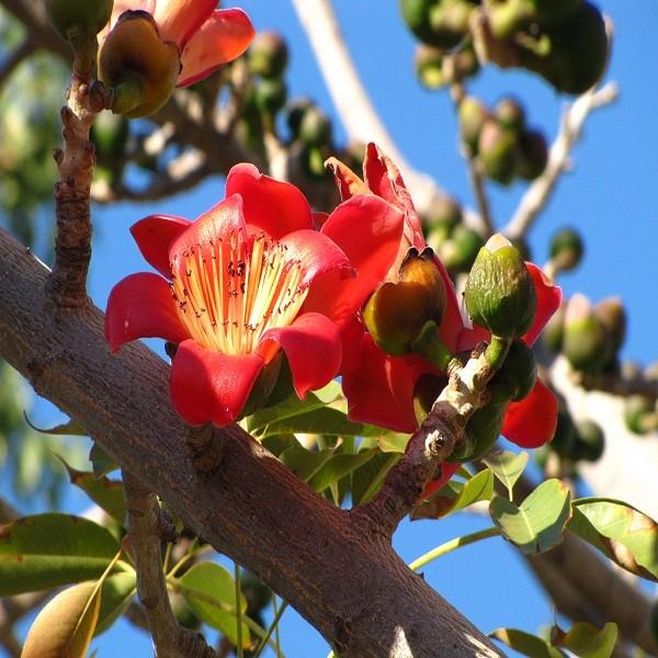 Bombax Ceiba или Красное Шелковое Дерево (семена)