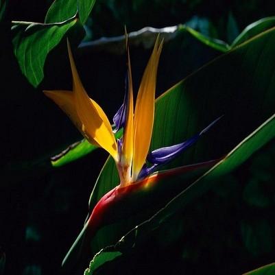 Strelitzia Reginae или Стрелитция Королевская (семена)
