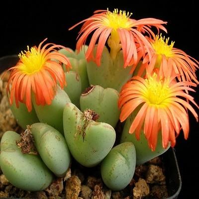 Conophytum FRUTESCENS или Конофитум Кустарниковый (семена)
