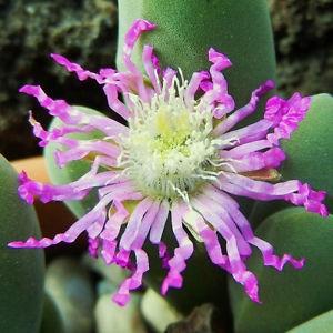 Gibbaeum SHANDII или Гиббеум Шанда (семена)