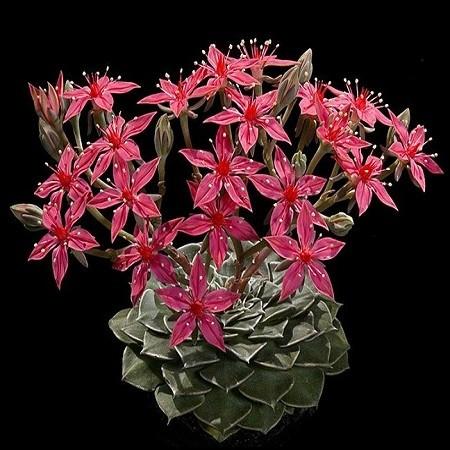 Graptopetalum BELLUM или Граптопелатум Красивый (семена)