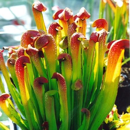 Sarracenia MINOR или Саррацения Малая (семена)