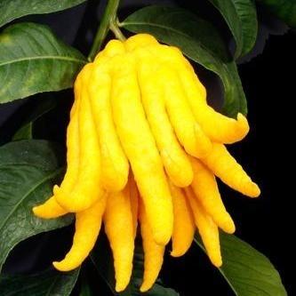 Citrus MEDICA или Цитрон Рука Будды (семена)