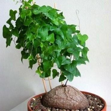 Dioscorea SYLVATICA или Диоскорея Лесная (семена)