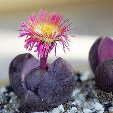 Pleiospilos NELLII RUBRA или Плейоспилос Неля (семена)