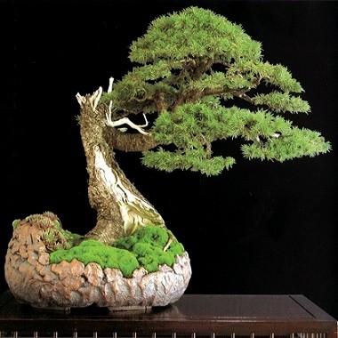 Abies PINDROW или Пихта Западно-Гималайская (семена)