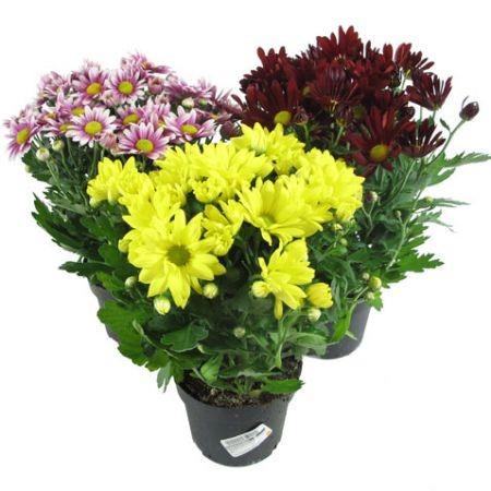 Chrysanthemum INDICUM или Хризантема Индийская (семена)