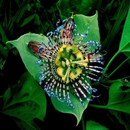 Passiflora Maliformis или Пассифлора Яблоковидная (семена)