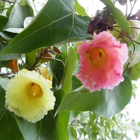 Hibiscus TILIACEUS или Гибискус Липовидный (семена)
