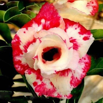 Adenium Obesum Double Flower WORMHOLE (семена)
