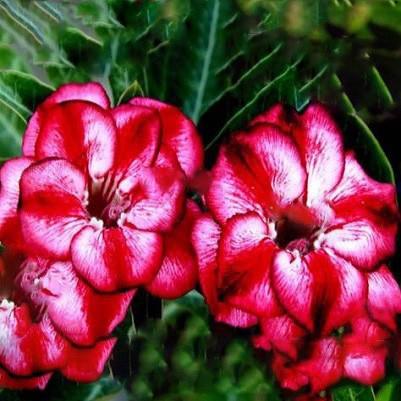 Adenium Obesum Double Flower TAMARA (семена)