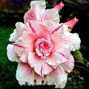 Adenium Obesum Triple Flower MARY POPPINS (семена)