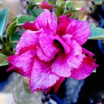 Adenium Obesum Triple Flower AMAZING VIOLET (семена)
