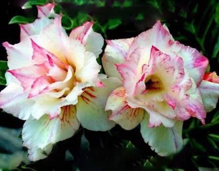 Adenium Obesum Triple Flower EXTRA AROMA (семена)