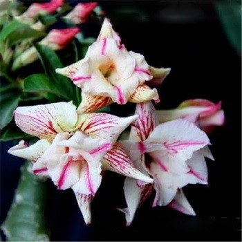 Adenium Obesum Double Flower SPIDER MONKEY (семена)