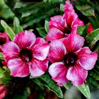Adenium Obesum Desert Rose SAYANG AROMATIC (семена)