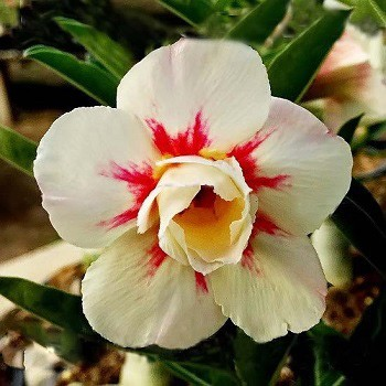Adenium Obesum Double Flower SUGARED LILAC (семена)
