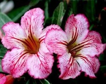 Adenium Obesum Desert Rose KING CRYSTAL (семена)