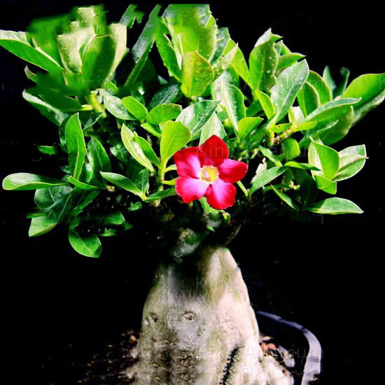 Adenium Thai Socotranum KING CROWN RED (семена)