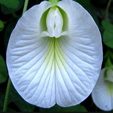 Clitoria TERNATEA WHITE или Клитория Тройчатая Белая (семена)