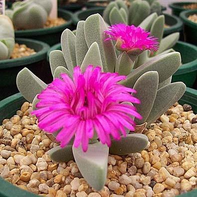 Cheiridopsis PURPUREA или Хейридопсис Пурпурный (семена)