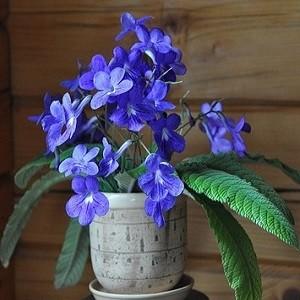 Streptocarpus REXII или Стрептокарпус Королевский (семена)