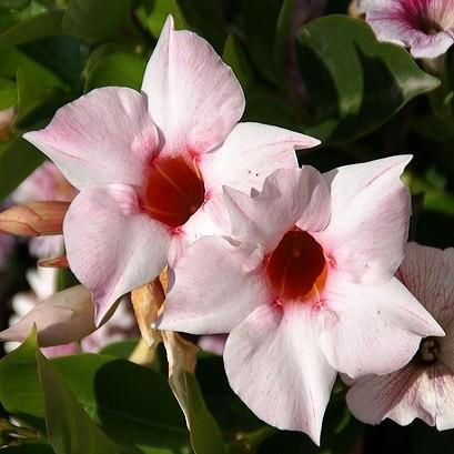 Pandorea JASMINOIDES ROSEA или Пандорея Жасминовидная (семена)