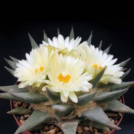Ariocarpus TRIGONUS или Ариокарпус Треугольный (семена)