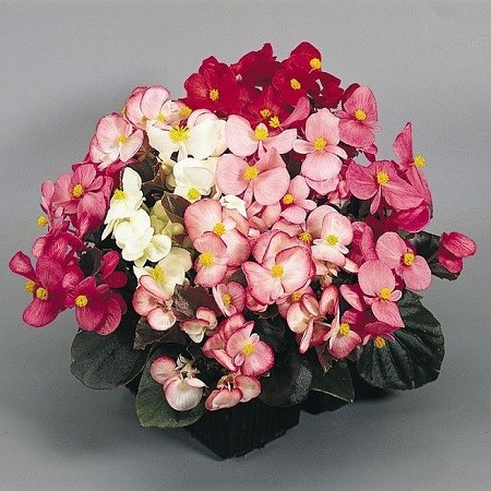 Begonia SEMPERFLORENS или Бегония Вечноцветущая (семена)