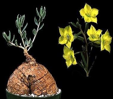 Talinum CAFFRUM или Талинум Каффрум (семена)