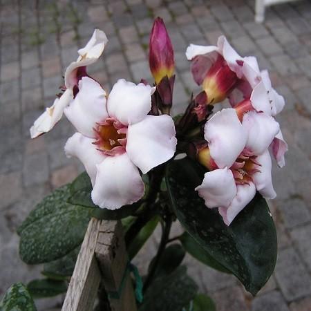 Strophanthus GRATUS или Строфантус Приятный (семена)