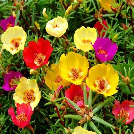 Portulaca GRANDIFLORA или Портулак Крупноцветковый МИКС (семена)