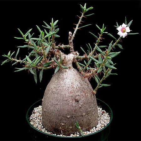 Pachypodium BISPINOSUM или Пахиподиум Двухшипный (семена)