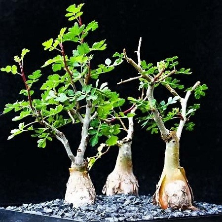Pachycormus DISCOLOR или Пахикормус Разноцветный (семена)