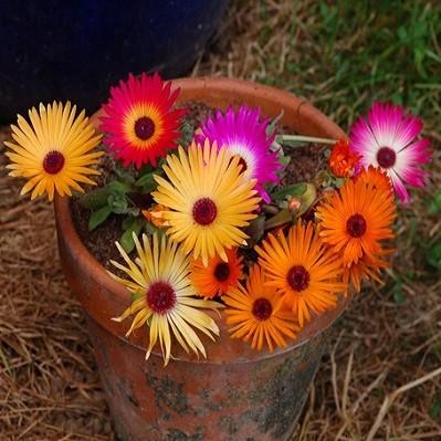 Dorotheanthus BELLIDIFORMIS или Доротеантус Маргаритковый (семена)