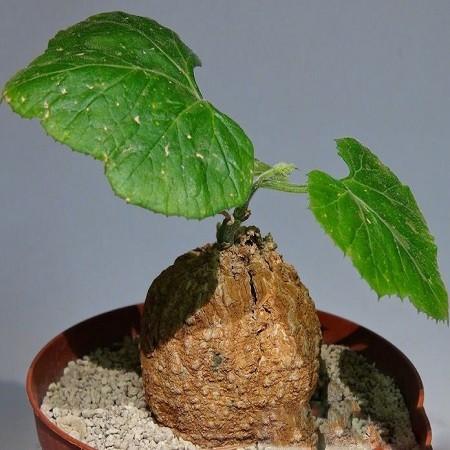 Coccinia MILDBRAEDII или Кокциния Милдбреда (семена)