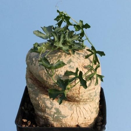 Ibervillea TENUISECTA или Ибервиллея Тонкорассеченная (семена)