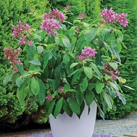Fuchsia ARBORESCENS или Фуксия Древовидная (семена)