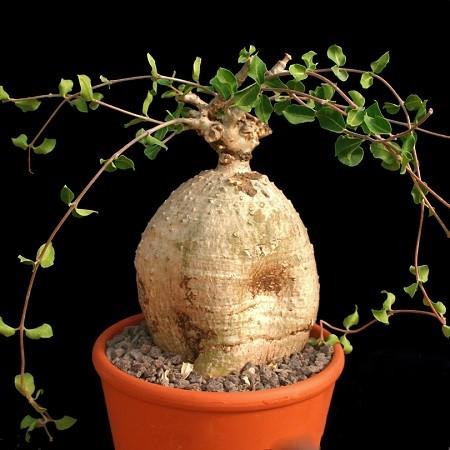 Fockea EDULIS или Фокея Съедобная (семена)