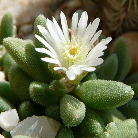 Delosperma KARROOICUM или Делосперма Каррукум (семена)