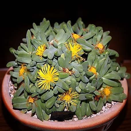 Glottiphyllum OLIGOCARPUM или Глотифиллум Малоплодный (семена)