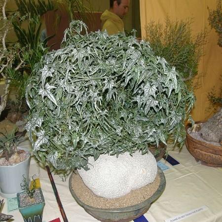 Gerrardanthus LOBATUS или Геррардантус Лопастный (семена)