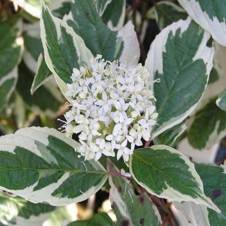 Cornus ALBA или Дерен Белый (семена)