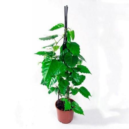 Cissus ANTARTICA или Циссус Антарктический (семена)