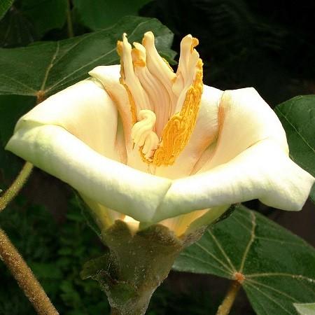 Ochroma PYRAMIDALE или Бальса Пирамидальная (семена)