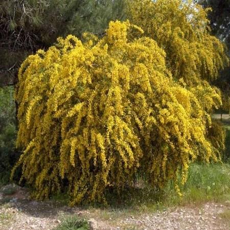 Acacia CYANOPHYLLA или Акация Ивовая (семена)