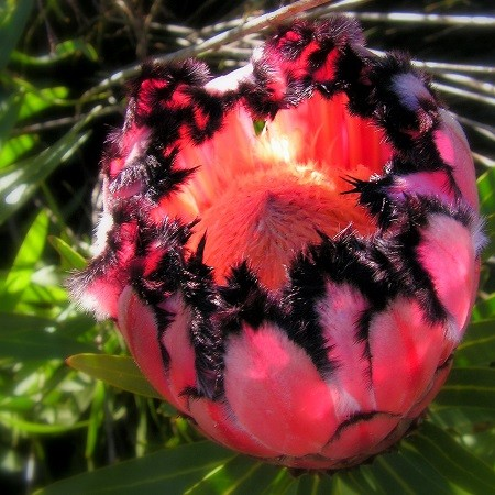 Protea NERIIFOLIA или Протея Олеандролистная (семена)